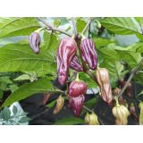 Bhut Jolokia Purple